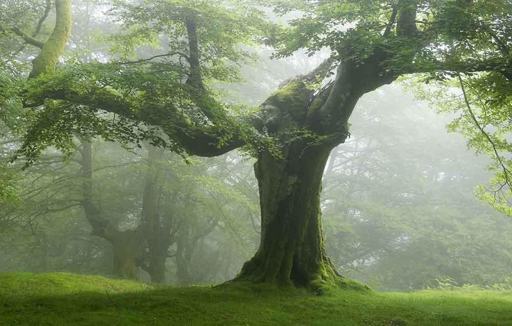 Дерево гигант