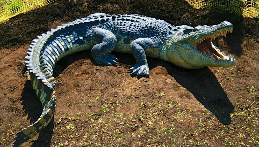 Австралийский гребнистый крокодил