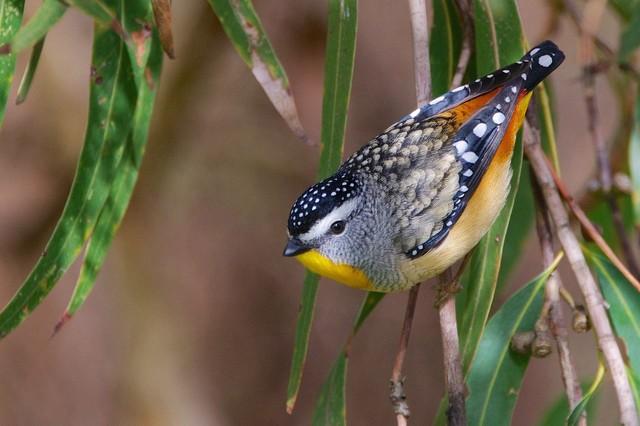 Леопардовая радужная птица