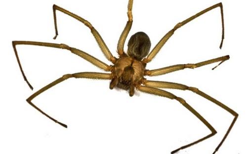 Чилийский паук-отшельник
