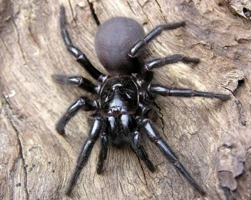 Сиднейский паук Воронка Веб