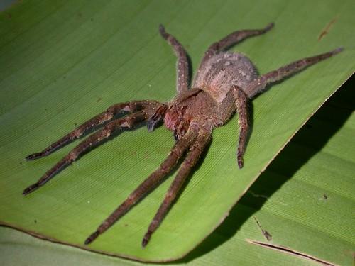 Бразильский паук-странник