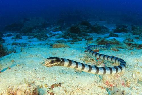 Морской змей Белчера
