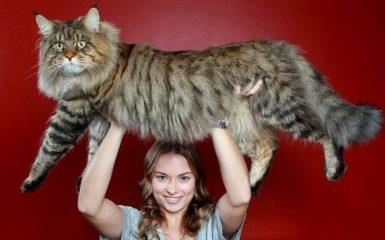 10 самых больших кошек