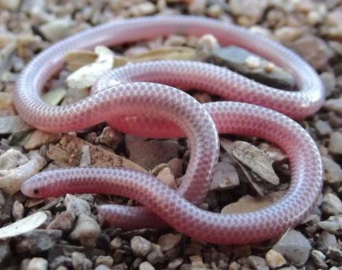 Барбадосская змея Карла