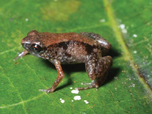Лягушка Paedophryne