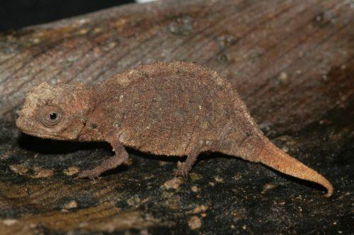 Ящерица брукезия микра