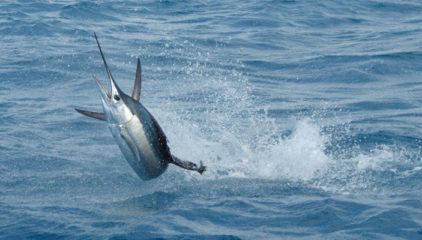Рейтинг самых быстрых рыб в мире